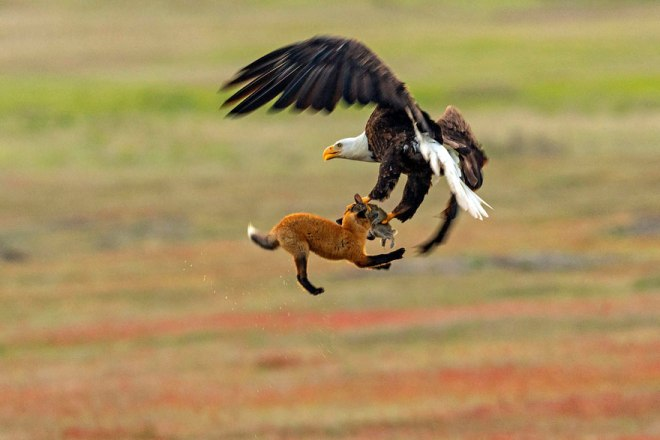 wildlife-photography-eagle-fox-fighting-over-rabbit-kevin-ebi-8-5b0661f2c2717__880